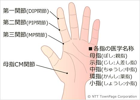 名前 親指 の 付け根